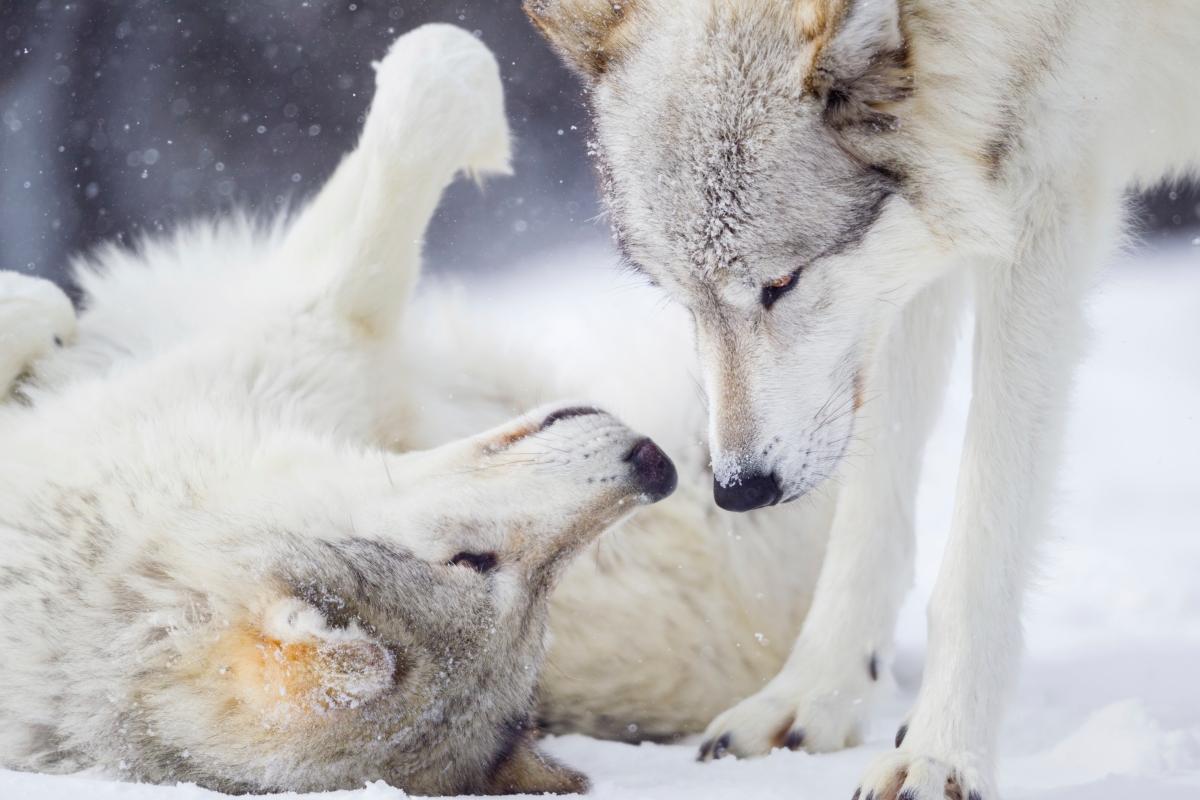 Donate friends of the wisconsin wolf wildlife biocorpaavc