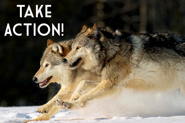 wolves, great lakes, Wyoming, endangered species act, delisting,