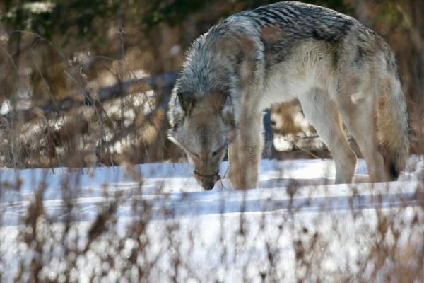 Cable snares and wire nooses used by wolf trappers are indiscriminate and gruesome.