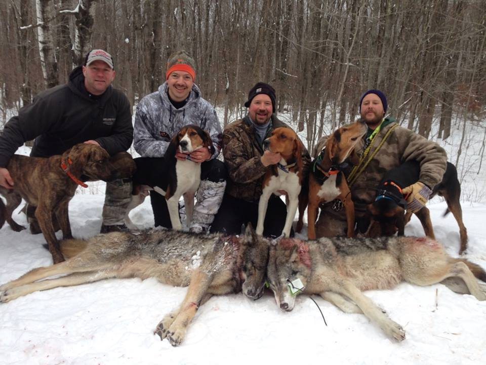 Hounders with dead wolves