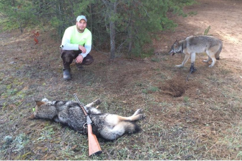 Steel jaw traps cause excruciating pain for trapped wolves.