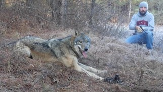 Wolves may struggle for days before trapper returns to kill them.