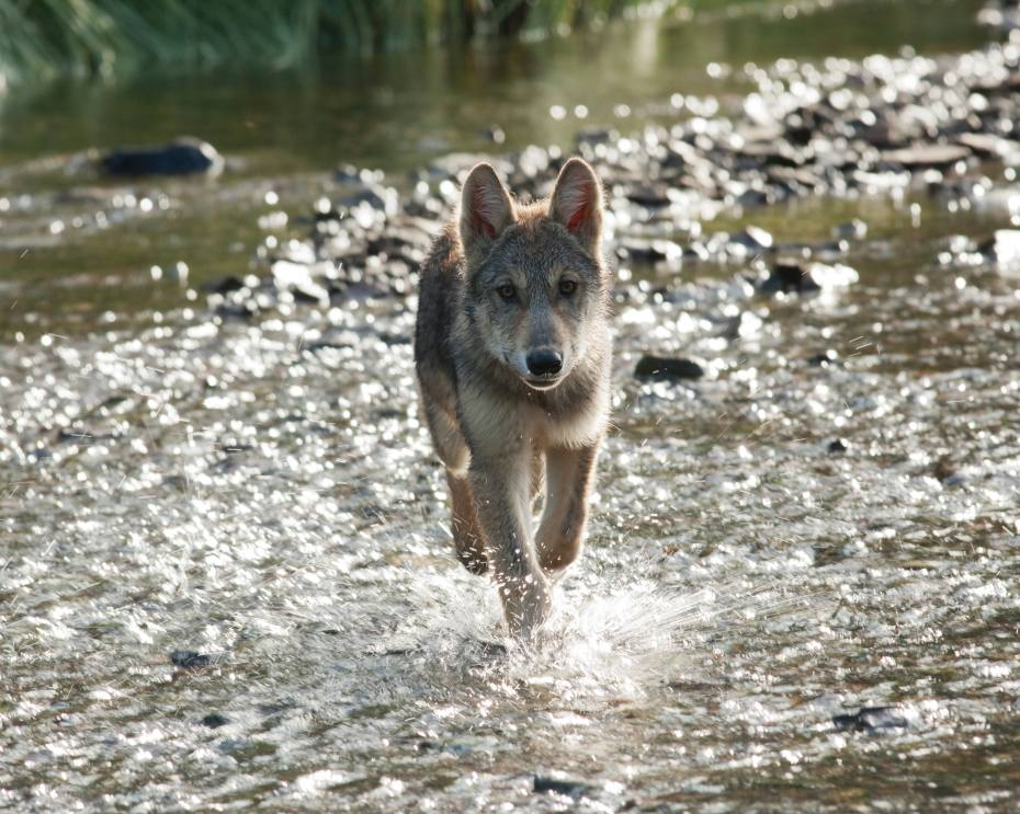Running Wolf by David Moskowitz