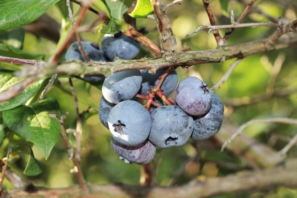 Blue Berries 1